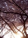 SAKURA2005